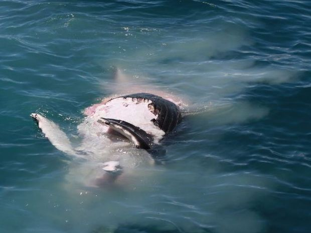 This whale calf carcass was attacked by sharks off Fraser Island on Monday.
