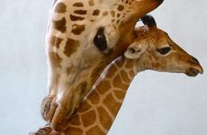 Rosie the giraffe has given birth to a healthy female calf named Skye, the first giraffe ever to be born in Queensland.