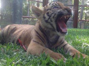 New tiger cubs at Australia Zoo