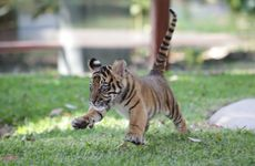 Official opening of new tiger cub enclosure at Australia Zoo to house the Sumatran tiger cubs that are the first tigers born at the Zoo.
