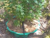 CANNABIS plants and leaves plus more than $2000 in cash has been found after raids at a Gayndah properties.