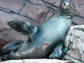 GROUCHO the seal  is the biggest loser at UnderWater World Sea Life in Mooloolaba after shedding more than 40kg in four months.