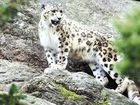 Professors studies snow leopards for cues to climate change