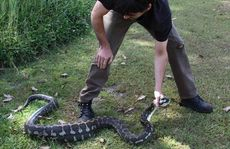 Images of a python that ate a dog at Caniaba.