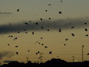 Council reveals its new strategy on flying foxes