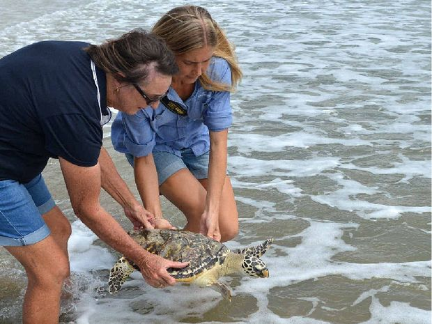 Mackay & District Turtle Watch Association Fay Griffin and Reef Catchment project officer for coastal systems Claire Bartron release Harry the Hawksbill Turtle back into the water after rehabilitation.