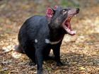 HEARTLESS vandals are destroying the technology that could save Tasmanian devils from extinction.
