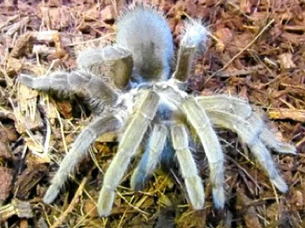 STOLEN: Missy the pet tarantula has always been fed by humans and is on a strict diet.