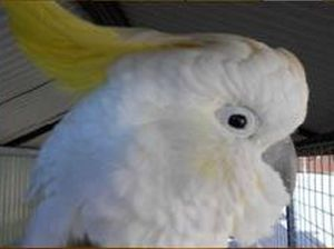 Cocky the cockatoo disappeared from Maryborough's Lamington Hotel between 3am and 5am on Sunday.