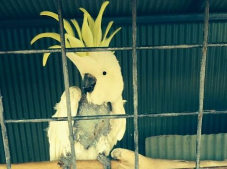 The Lammy's resident cockatoo Cocky was retrieved from Point Vernon and returned to her Maryborough home on Monday.
