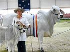 Fit for a lady: taking care of an $80,000 cow