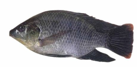 The truth about tilapia | Fox News