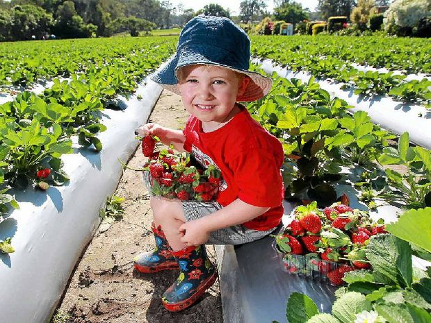 I SEE RED, I SEE RED: Ben Hoyle, 3, with his harvest of strawberries from Strawberry Fields at Palmview. The pick-your-own season has begun.