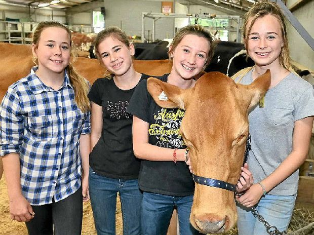 COUNTRY LIFE: Piper Dutton, 13, Sophie Alexiou, 13, Katie Smith, 14, and Namika Voigt, 13, with guernsey cow entry Rose Petal.