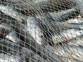 Girl's heartfelt plea to save NSW fishing industry