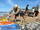 CATCH OF THE DAY: Long-time fisherman Tom Durbidge sorts a haul of mullet on the Maroochy North Shore.