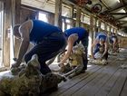 See the Shearers in action
