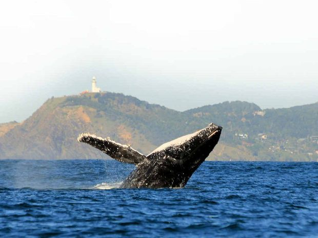 AT RISK: Experts claim that sick whales may have to be euthanised due to a lack of food (krill) in the Southern Ocean.