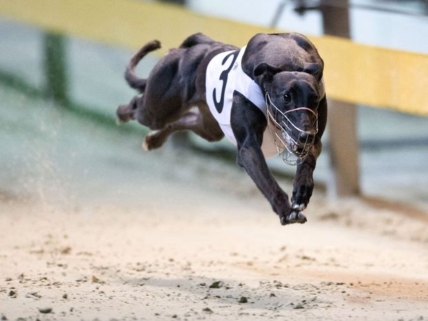 Anticipation grows for Greyhound Gold Cup