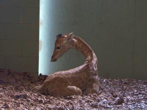 Baby giraffe welcomed at Australia Zoo