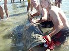 Anglers grapple gigantic grouper in front of crowd