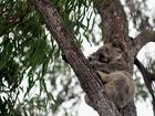 Deputy PM trying to save land for koalas