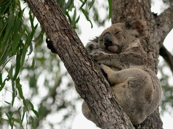 A mother koala with her baby snuggle together in one of the trees at Henderson Park.
