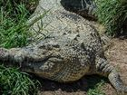 Stud failure croc to become Rockhampton Zoo star attraction