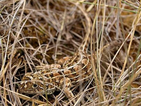 A Museum Victoria research team has discovered two new species of earless dragon in Darling Downs grasslands.
