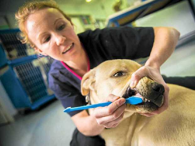 Gladstone vet Danielle Dunn brushes Bandit's teeth.