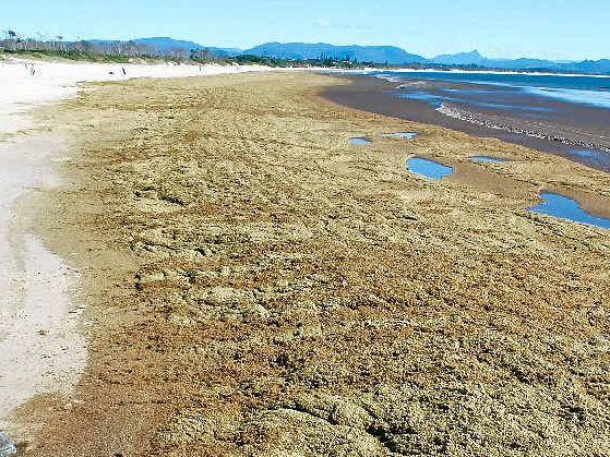 WASHED UP: Cornflake seaweed covers Belongil Beach.