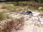 Leopard seal takes a leap after visiting Kingscliff