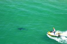 A jetskier tries to herd a white pointer that may have been responsible for a fatal attack yesterday out of Byron Bay.