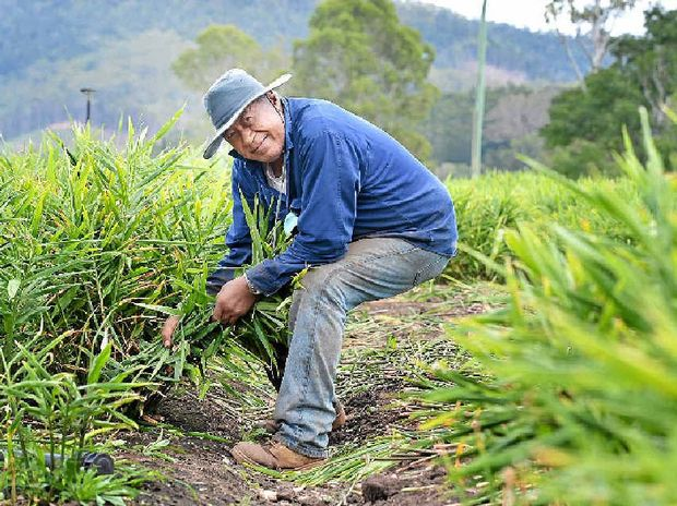 CONCERNED: John Savelio picks ginger in the Mary Valley. Ginger farmers say the burgeoning local industry is at risk following the decision to allow ginger to be imported from Fiji.