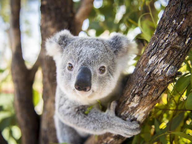 University of the Sunshine Coast microbiologists Professor Peter Timms and Dr Adam Polkinghorne have been conducting a field trial over the past year involving wild koalas roaming in their natural habitat in the Moreton Bay region.