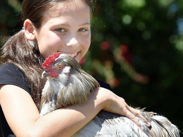12 yr old Trinity Smith from Booral with Mel Gibson, an araucana rooster. He was voted Australias fittest chook by Sustenhance. Photo: Alistair Brightman / Fraser Coast Chronicle