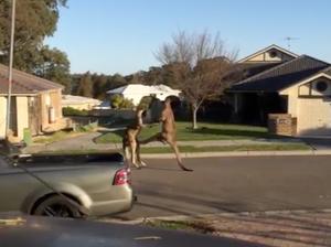 Kangaroos fight on suburban streets