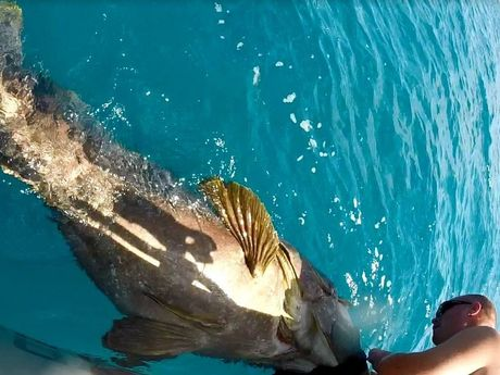 Hervey Bay fisherman Chad Runnalls grabs a giant grouper to remove hooks from its mouth.