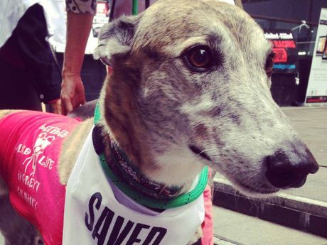 CUTE FACES ABOUND: One of the fortunate greyhounds, alive and well at a Sydney protest in February.