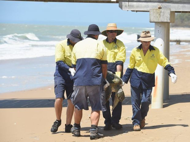 Fraser Coast Regional Council workers carry a dead turtle out of the waves at Torquay beach.