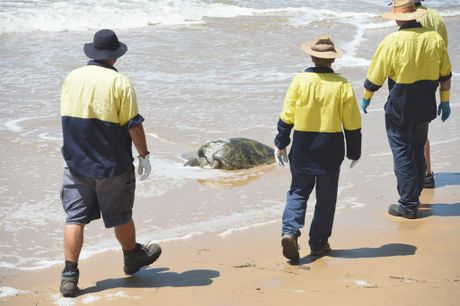 Four Fraser Coast Regional Council workers approach a dead turtle in the surf at Torquay beach.