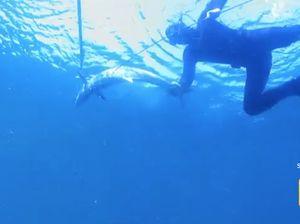 Spear fishing for Spanish mackerel