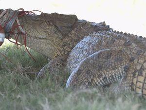 Mary River crocodile