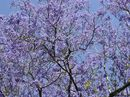 SIXTEEN Jacaranda trees at the former Queensland Farmers' Co-operative Company site in North Booval will be protected.