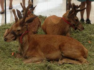 Deer at Stockland Hervey Bay