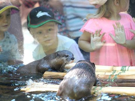 NEW HOME: Otters Soa and Houdini met the public for the first time at Rockhampton Zoo yesterday, as they settle into their new home.