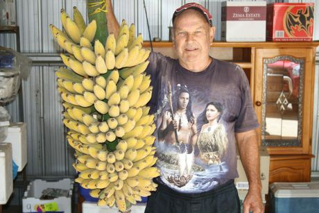 Ken Arndt picked a monster 38kg bunch of 273 bananas at his home in Grantham. Photo Tom Threadingham / Gatton Star