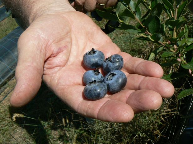 Interest is growing in making blueberry cultivation as important around Urunga, Bellingen and Dorrigo as it is north of Coffs Harbour.