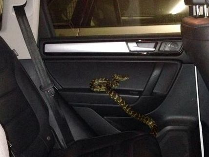 Richie Gilbert forgot to tell his wife Nat this snake was lost in their car.