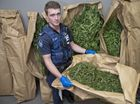 TALL CROP: Constable Dan McNabb, Darling Downs District Tactical Crime Squad with seized cannibis plants. Thursday, Feb 12, 2015 . Photo Nev Madsen / The Chronicle